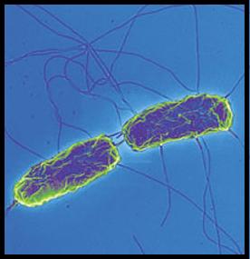 Salmonella enterica Salmonella_enterica