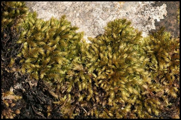 Eurhynchium meridionale Eurhynchium_meridionale