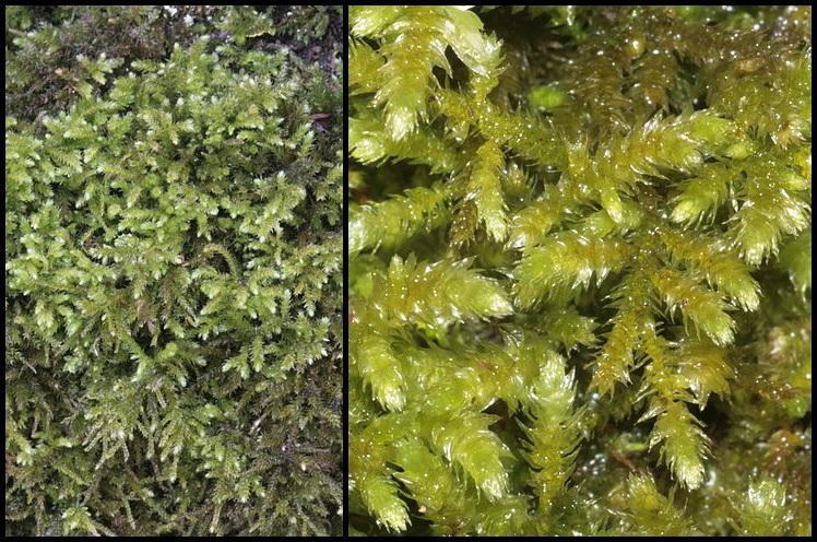 Eurhynchium striatum Eurhynchium_striatum