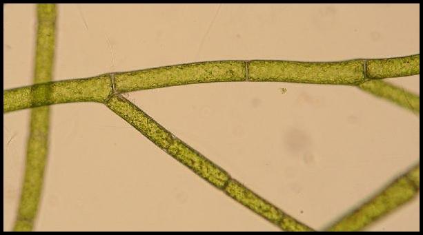 Cladophora globulina Cladophora_globulina