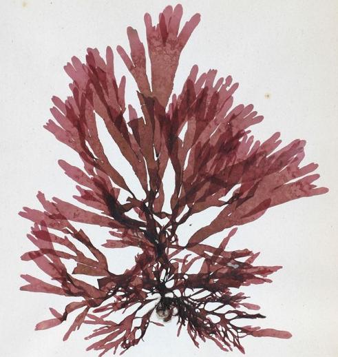 Palmaria palmata Palmaria_palmata