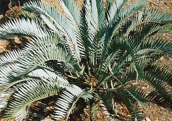 Encephalartos lehmannii  Encephalartos_lehmannii