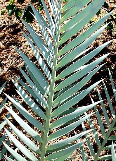 Encephalartos lehmannii  Encephalartos_lehmannii2