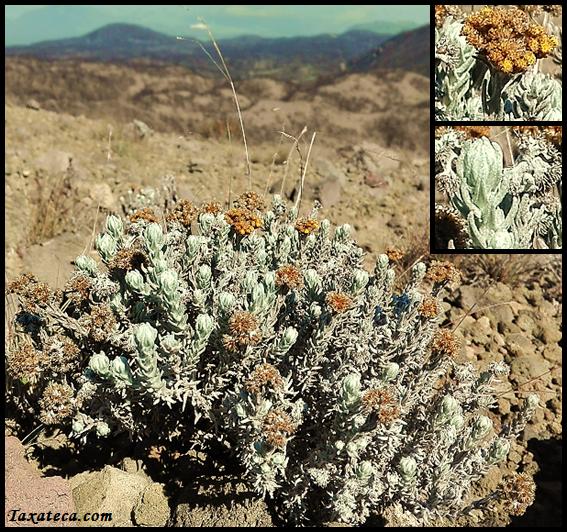 Helichrysum splendidum Helichrysum_splendidum