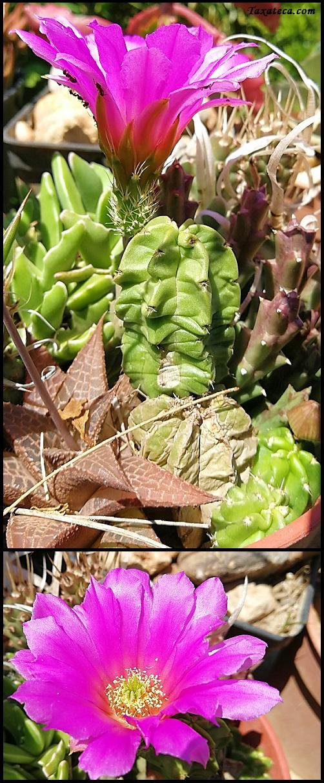 Echinocereus viereckii Echinocereus_viereckii