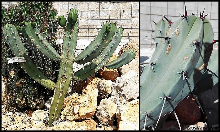 Myrtillocactus geometrizans Myrtillocactus_geometrizans