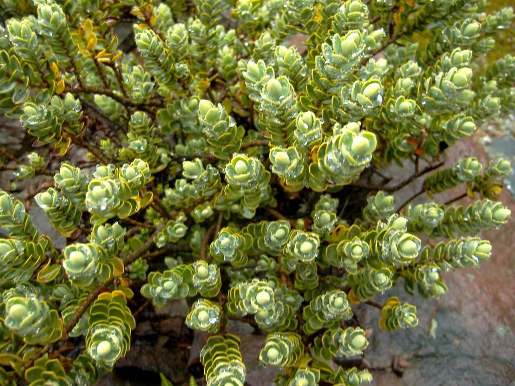 Order lamiales for Especies de arbustos