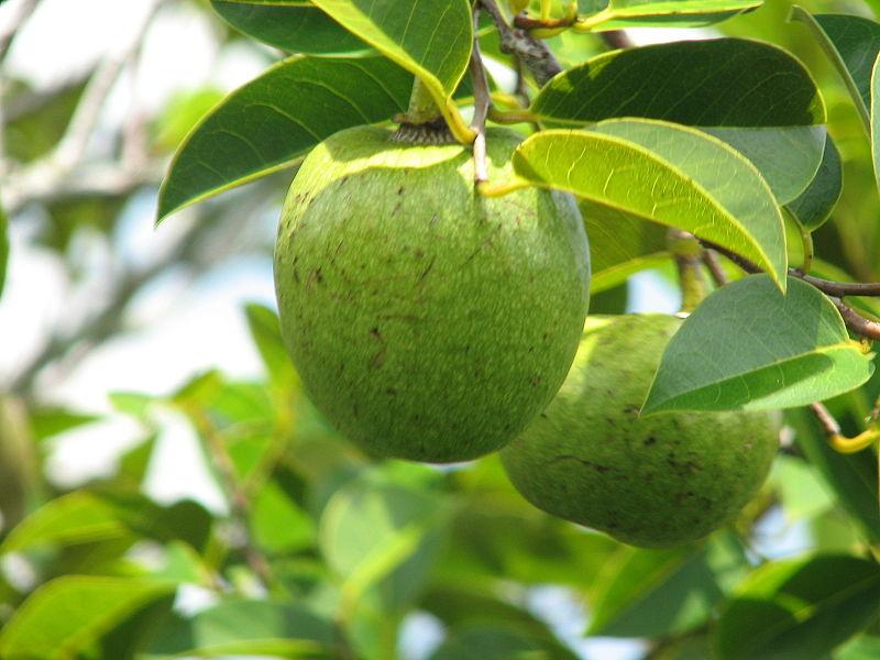 Order Magnoliales