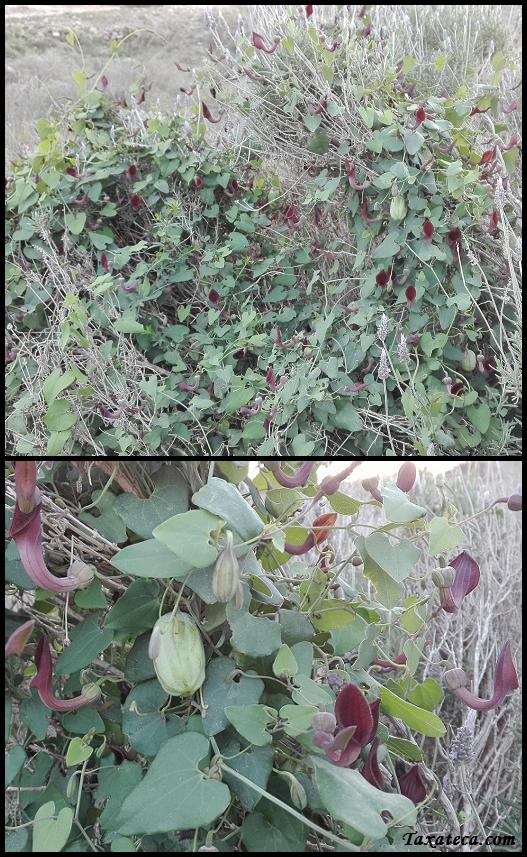 Aristolochia baetica Aristolochia_baetica