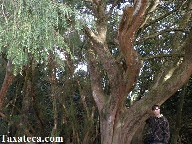 Juniperus cedrus  Juniperus_cedrus