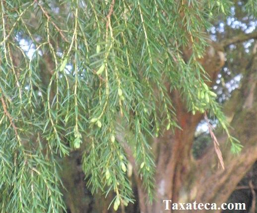 Juniperus cedrus  Juniperus_cedrus3