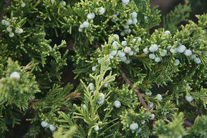 Juniperus davurica Juniperus_davurica