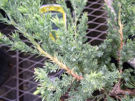 Juniperus davurica Juniperus_davurica2