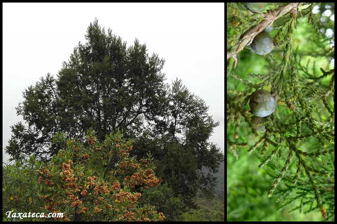Juniperus procera Juniperus_procera