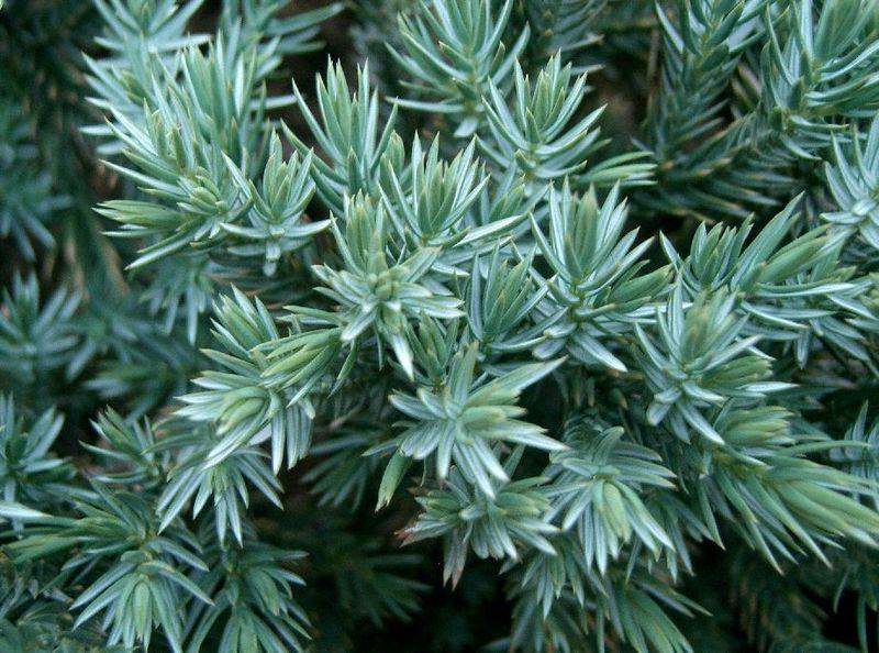 Juniperus squamata Juniperus_squamata2