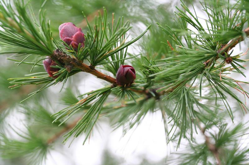 Larix laricina  Larix_laricina