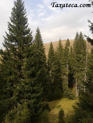 Picea abies Picea_abies