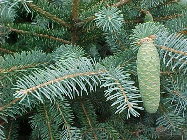 Picea likiangensis Picea_likiangensis2