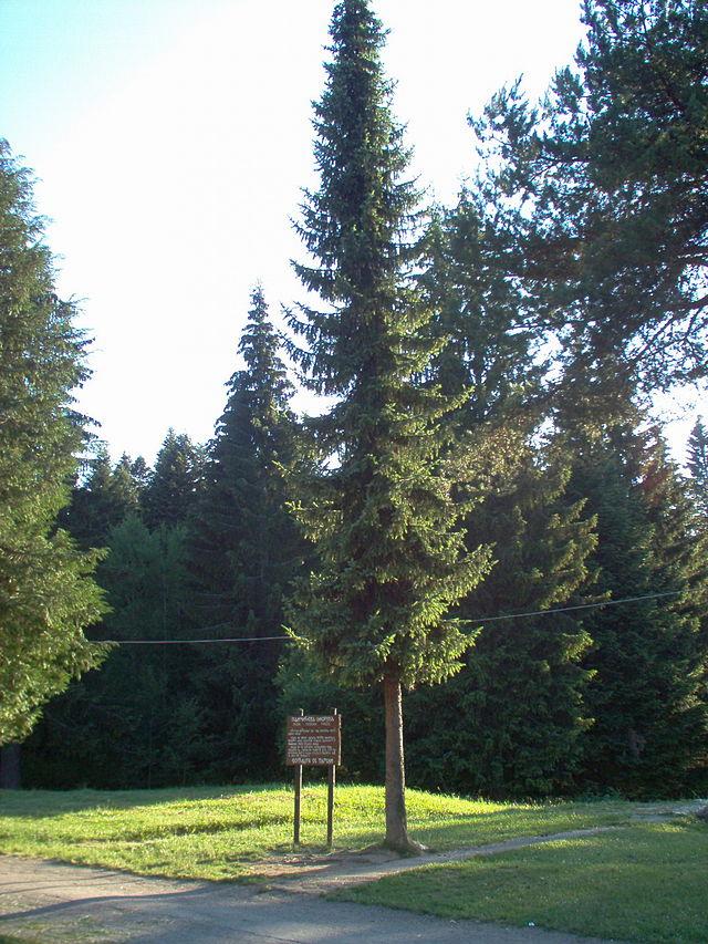 Picea omorika  Picea_omorika