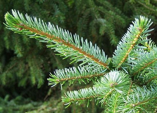 Picea omorika  Picea_omorika2
