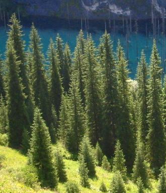 Picea schrenkiana  Picea_schrenkiana2