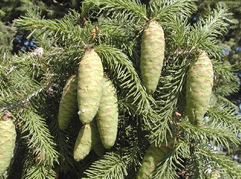 Picea wilsonii Picea_wilsonii