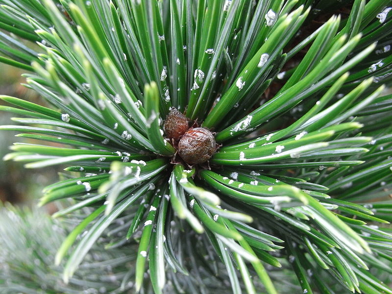Pinus aristata  Pinus_aristata
