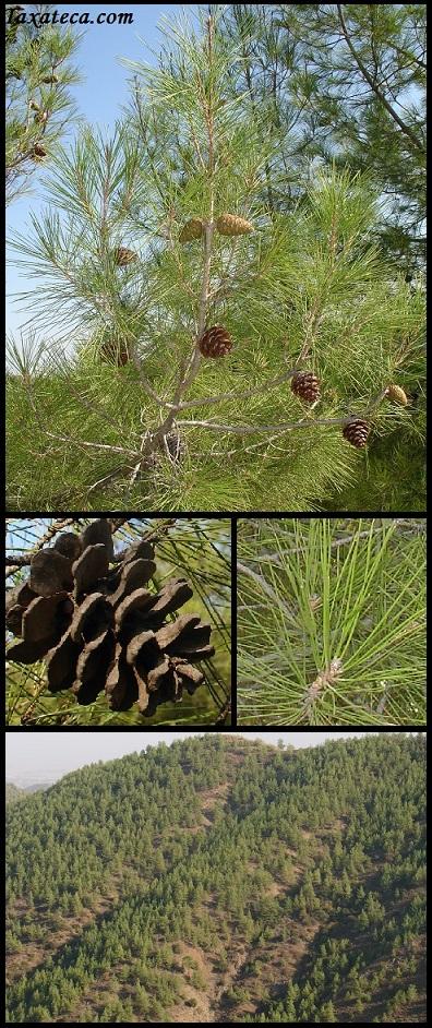 Pinus brutia Pinus_brutia