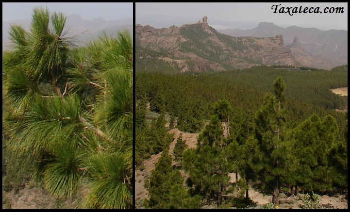 Pinus canariensis Pinus_canariensis