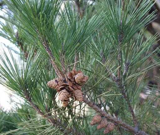 Pinus densiflora Pinus_densiflora