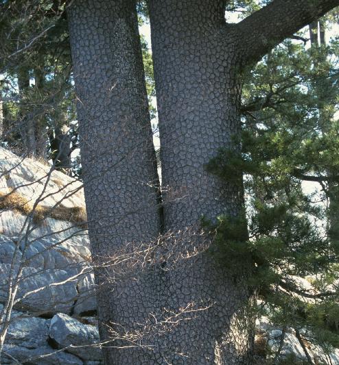 Pinus heldreichii Pinus_heldreichii
