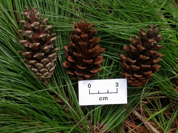 Pinus kesiya  Pinus_kesiya