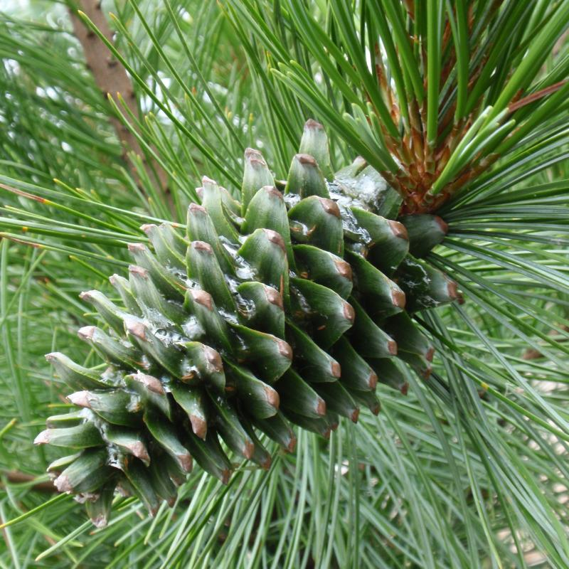 Pinus koraiensis Pinus_koraiensis2