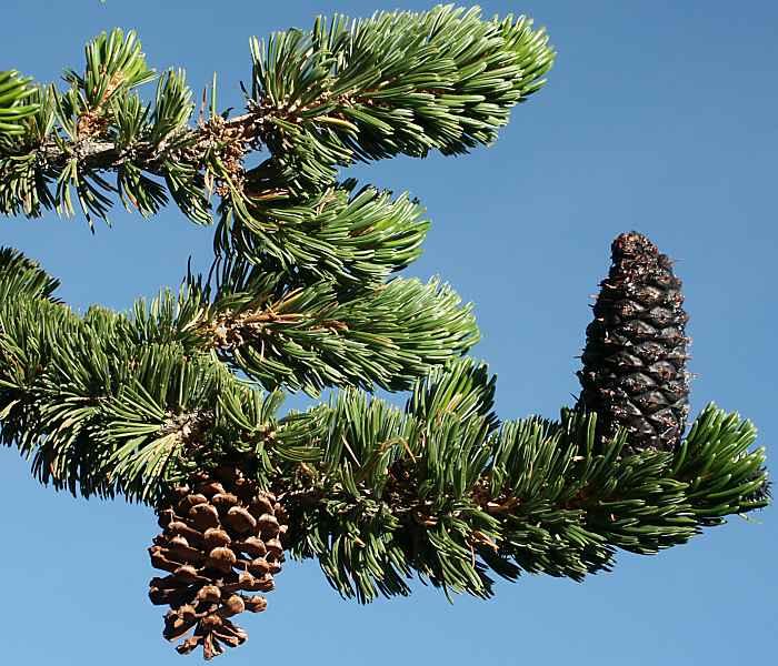 Pinus longaeva Pinus_longaeva