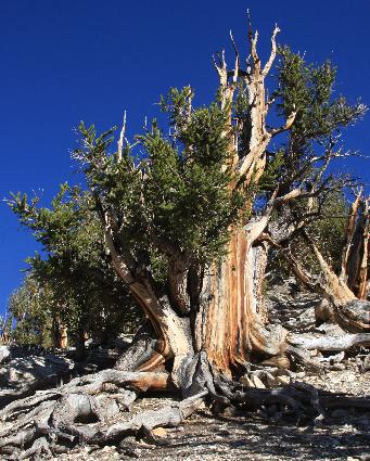 Pinus longaeva Pinus_longaeva2