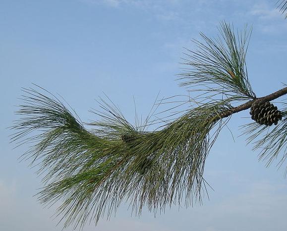 Pinus massoniana Pinus_massoniana