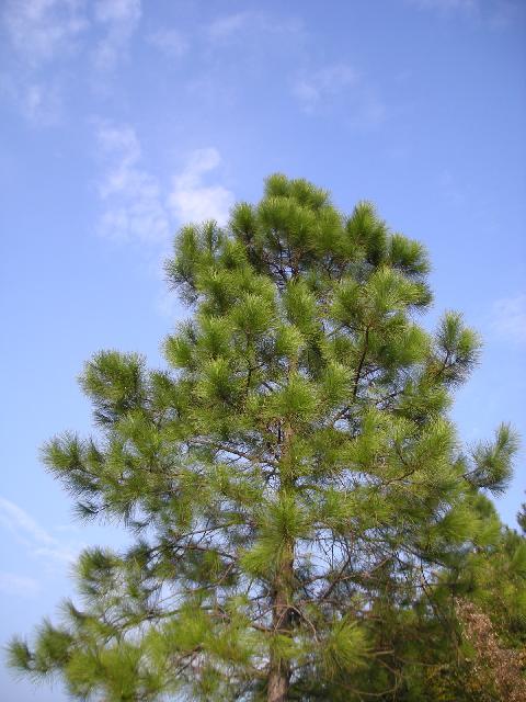 Pinus massoniana Pinus_massoniana2