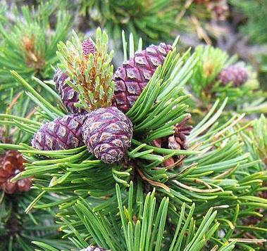 Pinus mugo Pinus_mugo