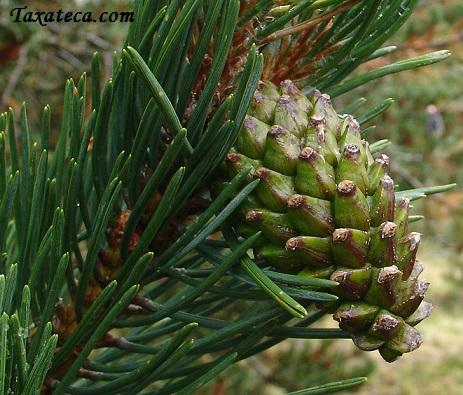 Pinus mugo Pinus_mugo2
