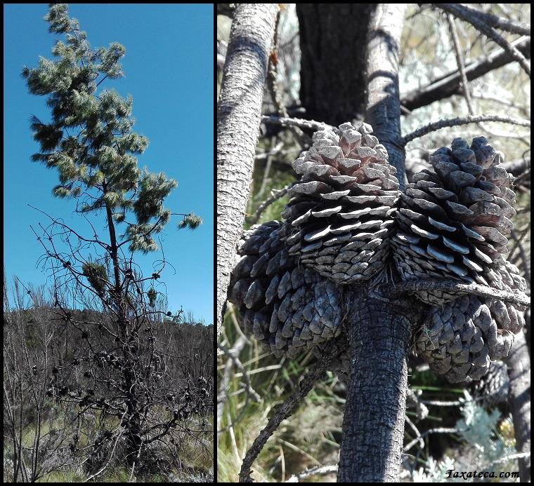 Pinus patula Pinus_patula