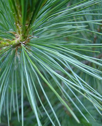 Pinus peuce Pinus_peuce
