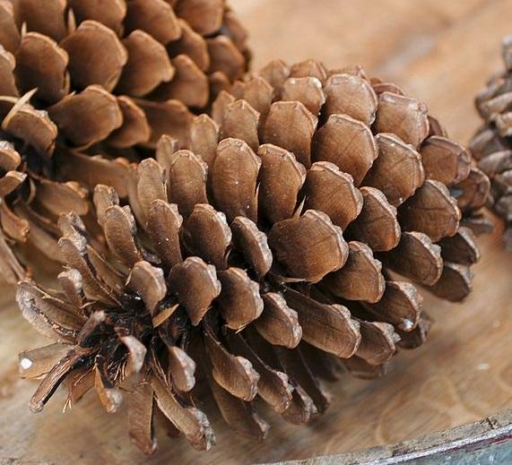 Pinus pinaster Pinus_pinaster
