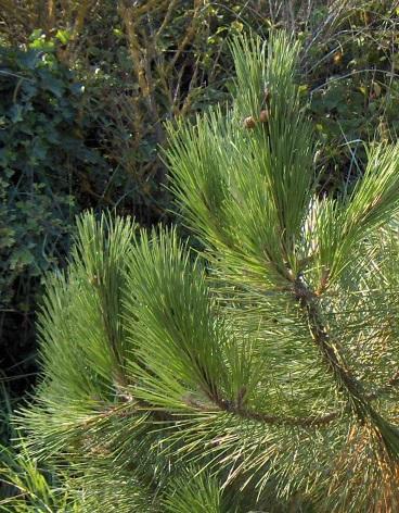 Pinus pinaster Pinus_pinaster2