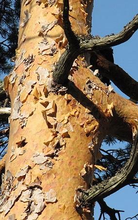 Pinus sylvestris Pinus_sylvestris