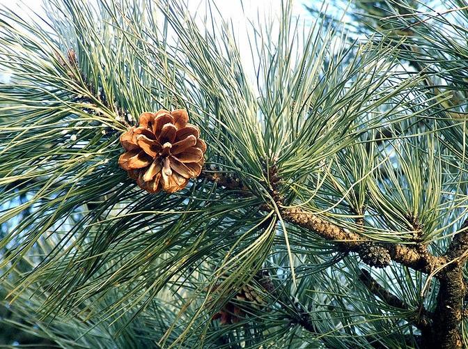 Pinus tabuliformis Pinus_tabuliformis