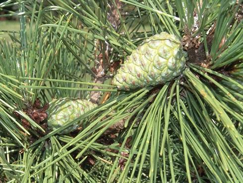 Pinus thunbergii  Pinus_thunbergii