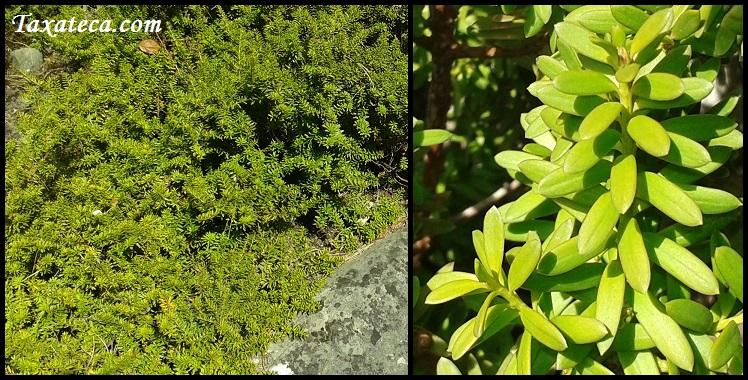 Podocarpus lawrencei Podocarpus_lawrencei