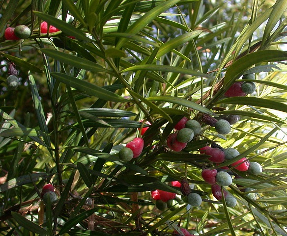 Podocarpus macrophyllus Podocarpus_macrophyllus