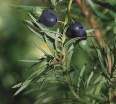 Podocarpus spinulosus Podocarpus_spinulosus