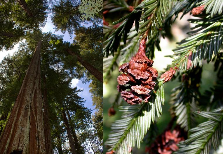 Sequoia sempervirens Sequoia_sempervirens